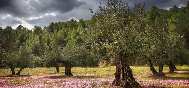 Un paseo entre olivares de montaña